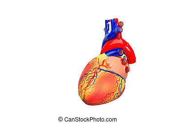 coração, fundo, isolado, human, modelo, branca
