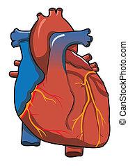 coração, fundo, sistema, isolado, human, branca