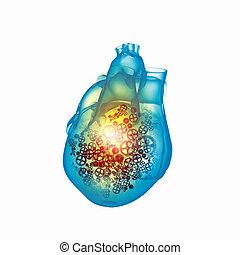 coração, human