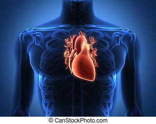 coração humano, anatomia, de, um, saudável, corporal