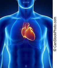 coração humano, com, tórax