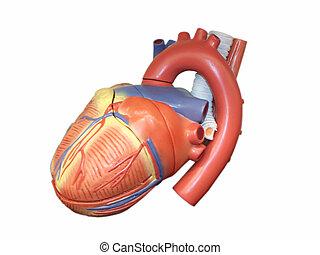 coração, modelo, anatomic, human