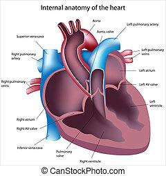 coração, seção transversal, etiquetado
