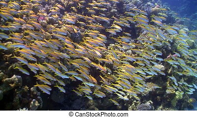 coraal, visje, ondiepte, gele