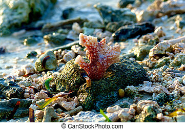 corail, coloré