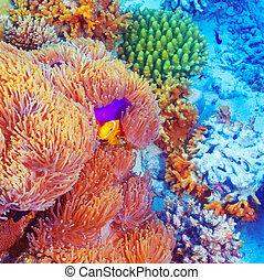 Corais, peixe, Palhaço, coloridos, natação