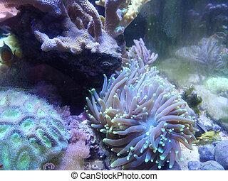 coral, acuario