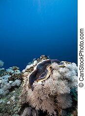 coral, almeja, océano, gigante
