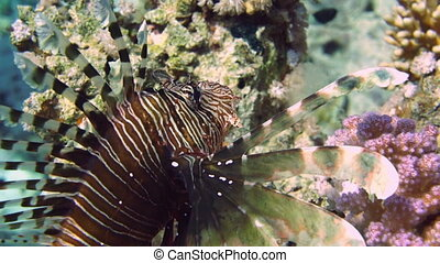 Coral and fish - Coral and lion fish in the Red Sea. Egypt
