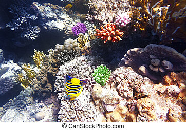 Coral and fish in the Red Sea. Angel fish. Egypt