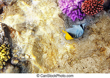 Coral and fish in the Red Sea. Diagonal butterfly. Egypt