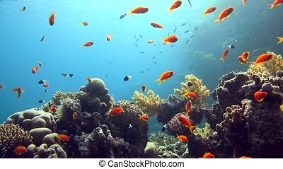Coral and fish in the Red Sea, Egypt. HD