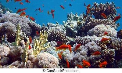 Coral and fish in the Red Sea, Egypt