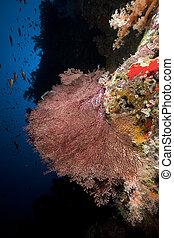 coral, anudado, ventilador, sea., rojo