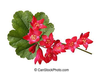 Coral Bells Flowers