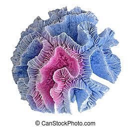 coral, blanco, plano de fondo