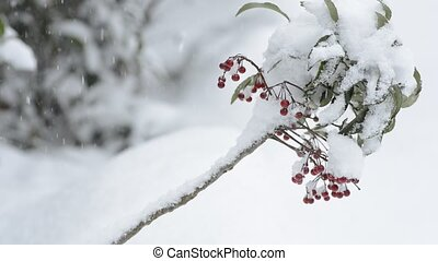 Coral bush tree - Snowy coral bush tree with red fruit over...