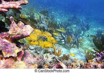 coral caribbean reef Mayan Riviera Grunt fish yellow blue...