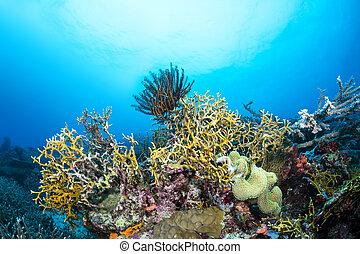 coral de fuego, en, arrecife