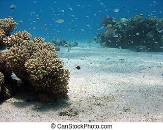 coral duro