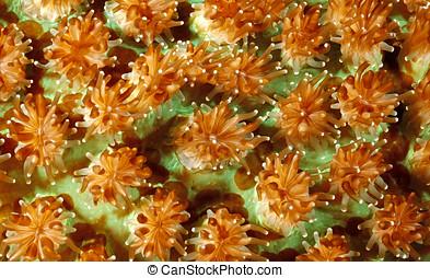 coral, duro, pólipos