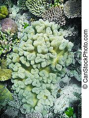 coral, duro, suave, arrecife