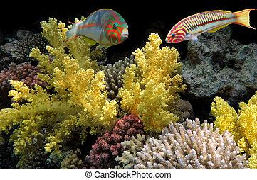 Coral fish Thalassoma Klunzingeri (Klunzinger's Wrasse)
