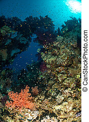 Coral garden in the red sea