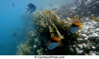 Coral garden with fish in red sea, Marsa Alam, Egypt