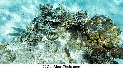 coral, gigante, tridacna, mar
