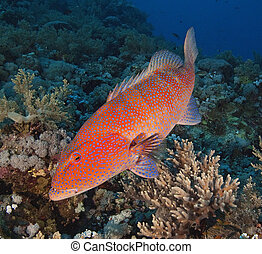 coral grouper, en, un, arrecife