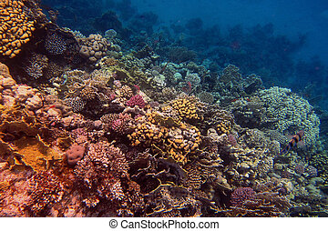 coral in the red sea