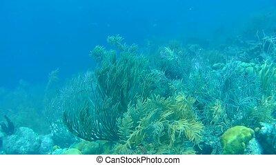 coral life underwater video 1080p Caribbean Sea