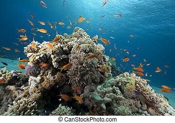 coral, océano, pez