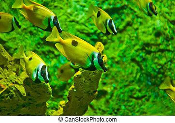 coral, océano, y, pez