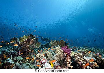 coral, oceânicos, peixe