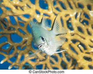 coral, pálido, damselfish, arrecife