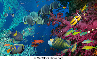 coral, peixe