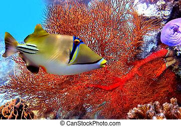 coral, pez, assasi, rhinecanthus