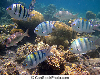 coral, pez, mar, rojo
