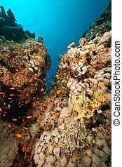 coral, pez, sha\\\'ab, mahmud, alrededor