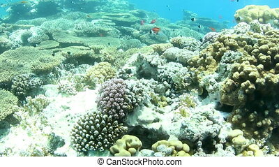 Coral reef and small fishes, shallow water, in the Red Sea.