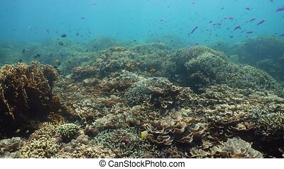 Coral reef and tropical fish. Camiguin, Philippines -...