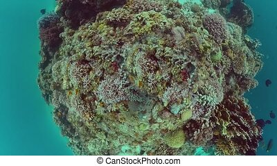Underwater Scene Coral Reef. Tropical underwater sea fishes. Panglao, Philippines.