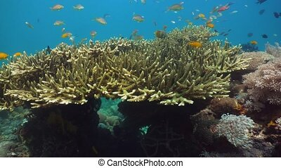 Coral reef and tropical fish. Philippines, Mindoro. -...
