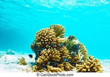 Coral reef at Maldives - Coral reef at South Ari Atoll,...