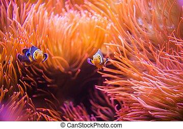 Coral Reef Clownfish Between Bubble Sea Anemone. Clownfish...