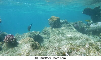 Slow motion clip of different fish swimming in Red Sea coral reef, Egypt. Surgeonfish is common species of this area