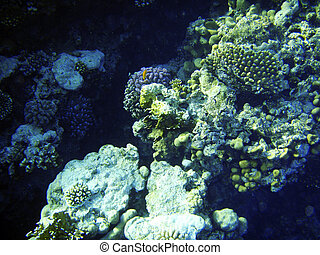Coral reef in Red sea. Scuba diving in Egypt, Africa.