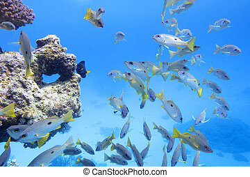 coral reef in tropical sea with shoal of goatfish , underwater